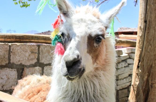 San Pedro de Atacama Lama Santé et sécurité Amérique du Sud