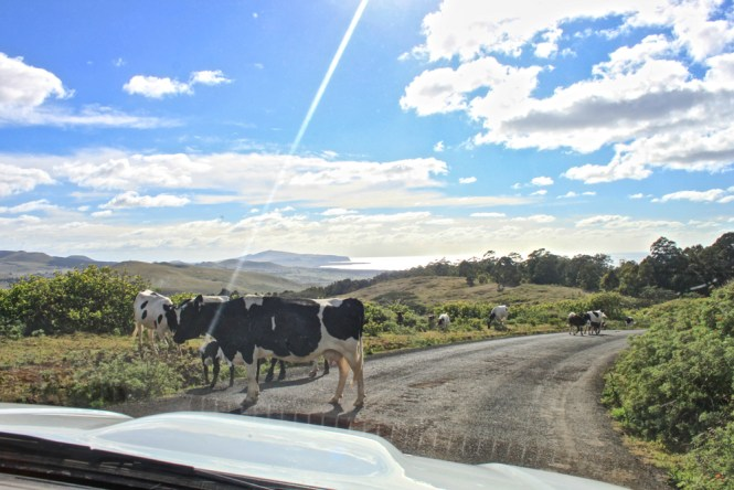vaches Rano Kau visiter île de pâques