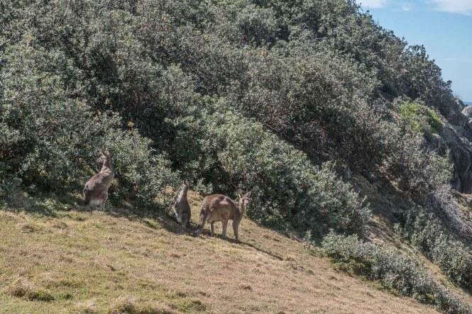 Kangourous Korogoro Walking Track Hat Head National Park