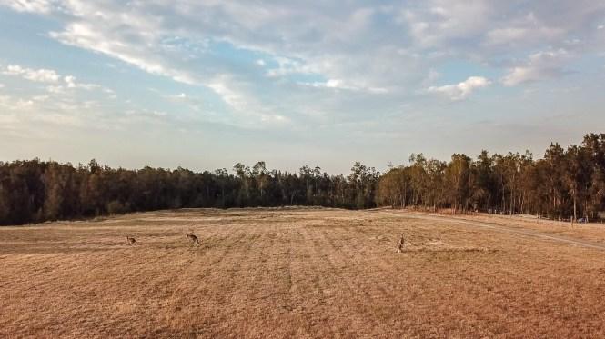kangourou hunter valley