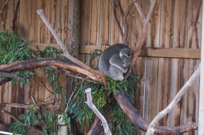 Koala endormi Phillip Island