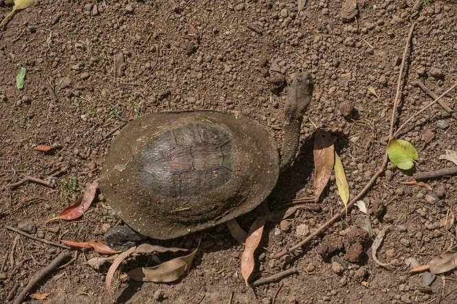 tortue Phillip Island