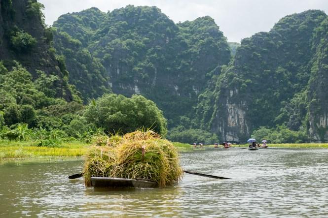 Recolte du riz baie d'halong terrestre tam coc