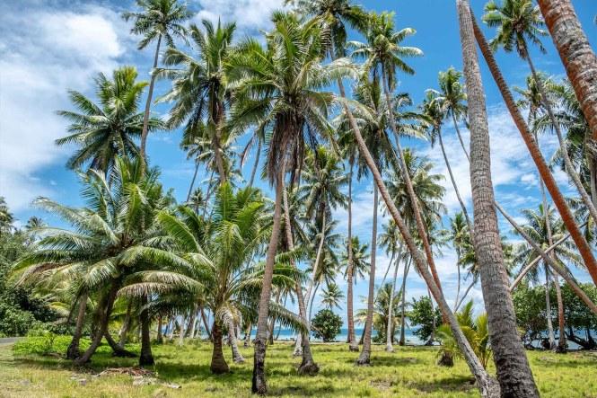 tahaa-palmier