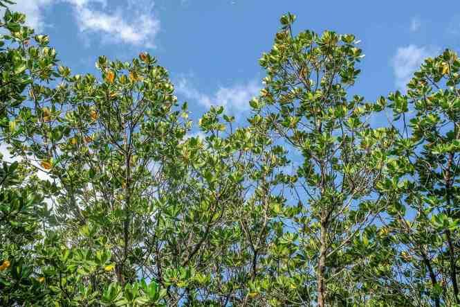 sentier-de-la-mangrove-de-Ouémo-vegetation
