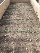 Möhren, Radieschen, Knoblauch und Sellerie - das sind nur einige Beispiele für diejenigen Gemüse, die schon im Spätwinter gesät und gesetzt werden können.