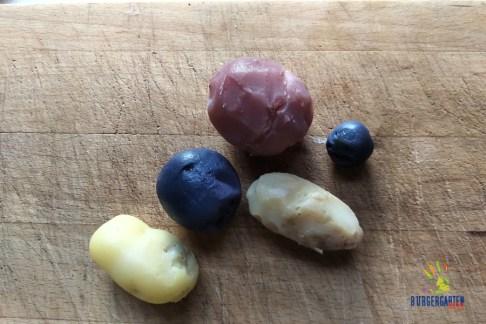 Angeliter Tannenzapfen, Blaue Anneliese, Rote Emmalie, La Ratte und Blauer Schwede - alles eigene Ernte