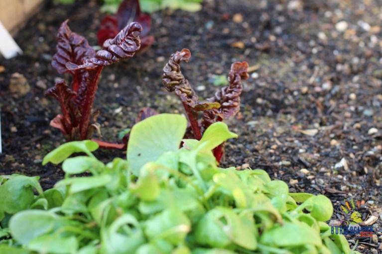 Mangold und Portulak bringen Farbe ins winterliche Gemüsebeet