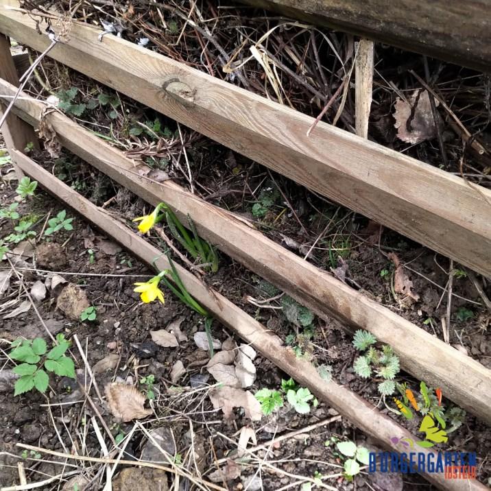 Zwei Narzissen, gelb wie die Salamander, markieren die Raufe mit unseren neuen Gartenbewohnern.
