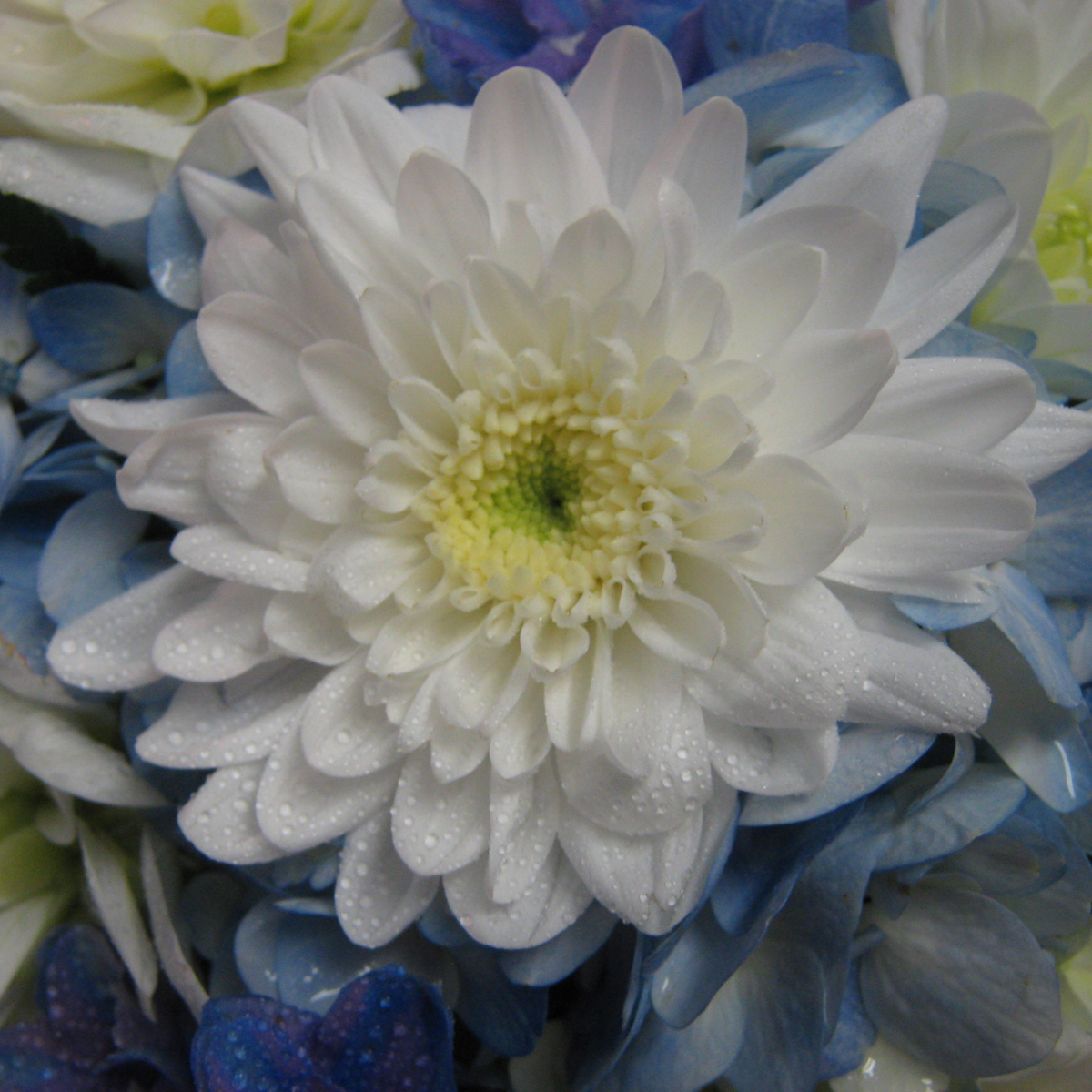 Fall Daisy Wallpaper Button Mums Buffalo Wedding Amp Event Flowers By Lipinoga