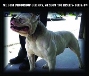 dog supplements for building lean muscle american bulldog buffk9
