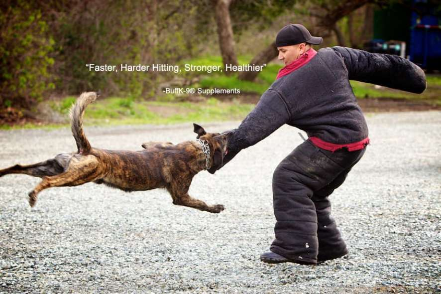 belgian shepherd dog malinois buffk9 schutzhund traning