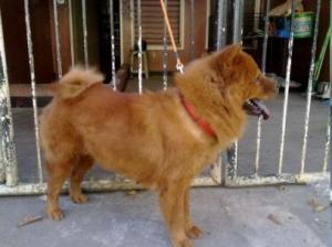 chow dog after buffk9 usage fuller coat improved muscle
