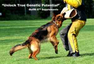 schutzhund dog german shepherd dog supplements