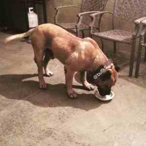 dog weight gain supplements pitbulls buffk9