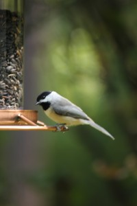 A Carolina chickadee at our backyard feeder.