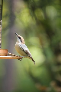 Nuthatch on the same feeder.