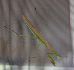 Praying mantis on our kitchen window screen.  This handsome fellow was about 5 inches long.