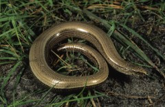 A modern-day legless lizard.