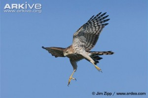 Juvenile-Coopers-hawk-in-flight