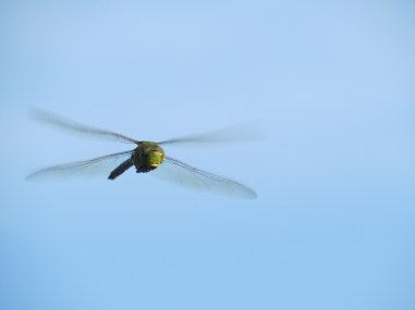 Dragonfly patrolling our (his?) dock. ©Buffy Silverman