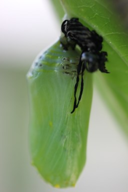 Slightly creepy monarch chrysalis wearing a caterpillar skin cap. ©Buffy Silverman