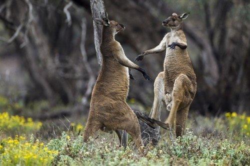 kengūra turi varpą)