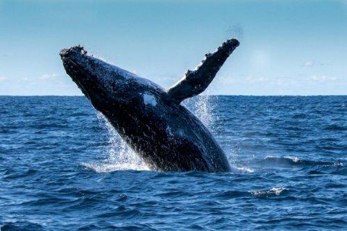 pierderea în greutate de balenă din dreapta sudică pierderea în greutate supranaturală