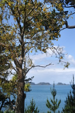 A Kowhai half way up to Scandretts
