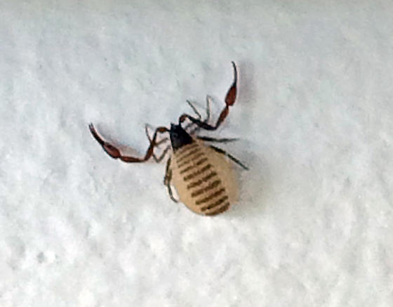 Small Bug That Looks Like A Crab