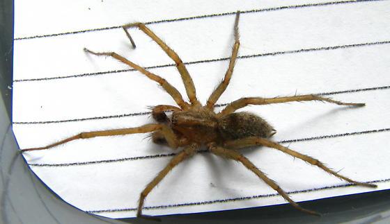 Hobo Spider Eratigena agrestis BugGuideNet