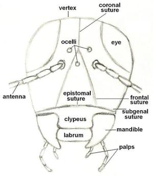 Diagram of an insect  front view of head  BugGuideNet