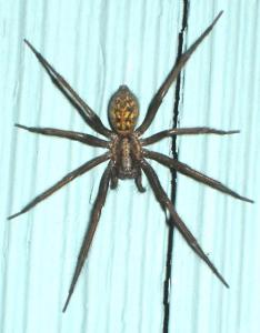 The giant house spider also how to identify venomous spiders dengarden rh