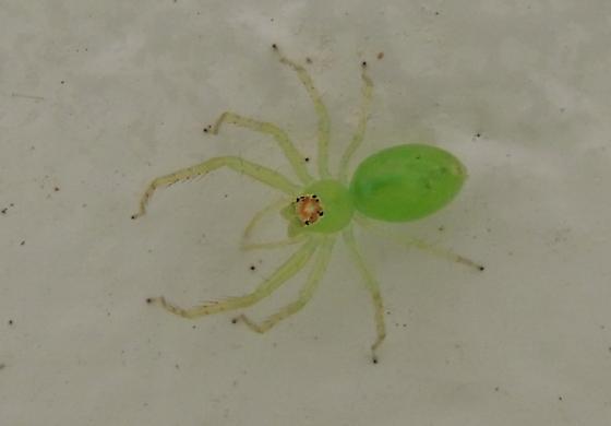 Unknown green spider  Lyssomanes viridis  BugGuideNet