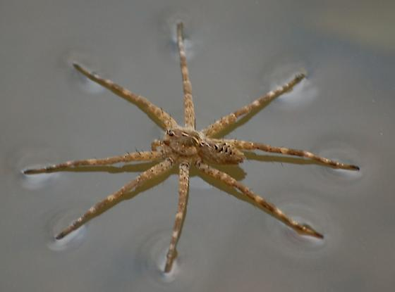 Image result for Dolomedes scriptus