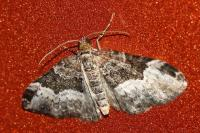 Carpet Moths Images - Home The Honoroak