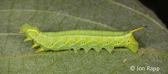 Image result for lettered sphinx moth caterpillar