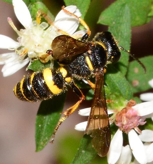 Yellow-striped Wasp - Cerceris - BugGuide.Net
