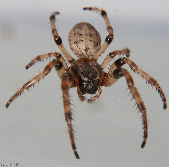 Washington Spider Identification Chart