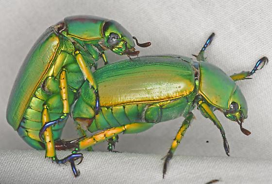 Chrysina woodii, mating - Chrysina woodii - male - female