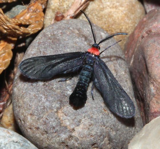Zygaenidae, Grapeleaf Skeletonizer - Harrisina americana