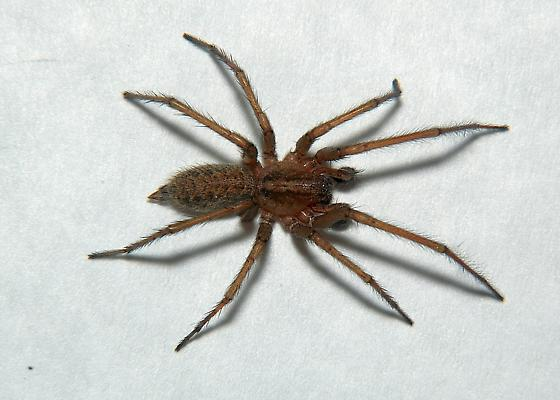 Baby Hobo Spider Size