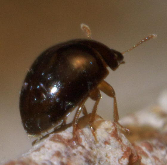 Small round shiny beetle with a hairy tail - Olibrus ...