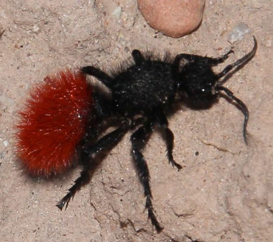 The South S Distinctive Red Velvet Ant Isn T Really An Ant At All Photo