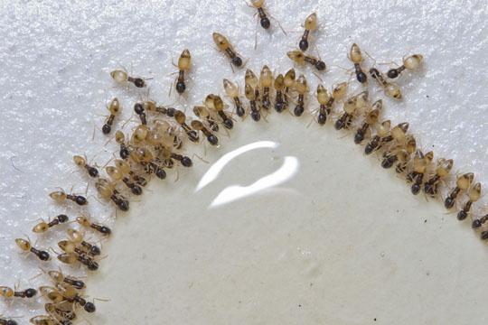 Ghost Ant Invasion Yikes Tapinoma Melanocephalum