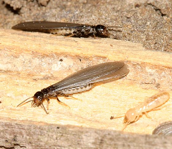 winged termites  BugGuideNet
