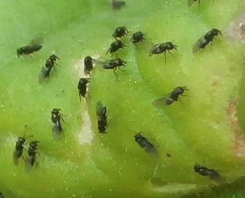 Small Flies on Tomato Plant  BugGuideNet
