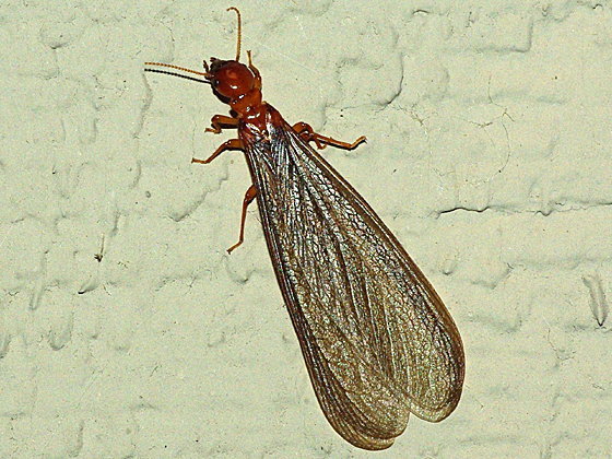 Winged Termites In Bathroom