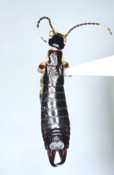 Euborellia annulata