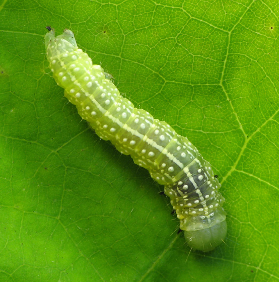 Caterpillar sharing oak leaves with sawfly larvae